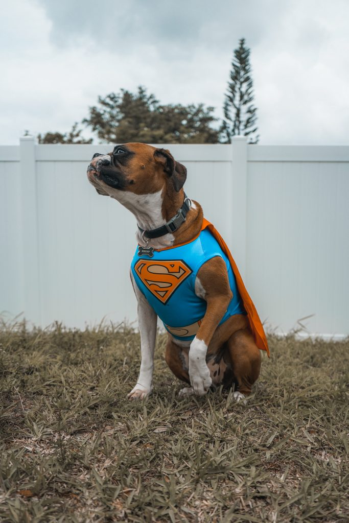 dog in superman halloween costume