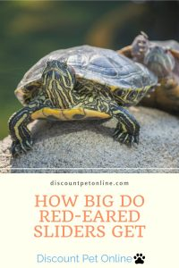 How Big Do Red-Eared Sliders Get