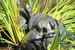 Red-Eared Sliders on land