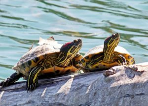 two red eared slider turtles