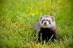 Ferrets love to play outside