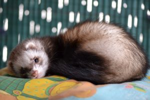 How you can help your ferret sleep