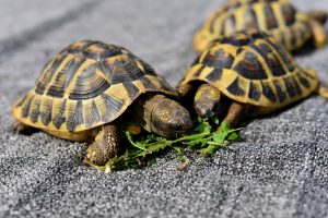 Guidelines for housing multiple box turtles together